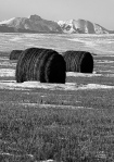 Wild hay bales running free on the prairies