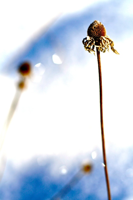 seedpod in the snow
