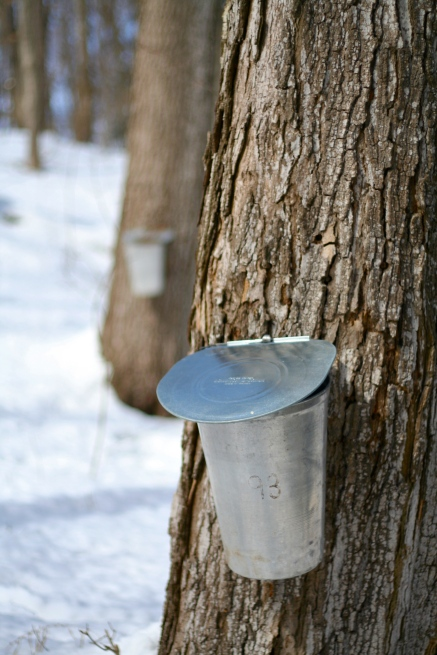 tapping the trees