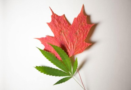 news-masthead-cannabis-maple-leaf jpg